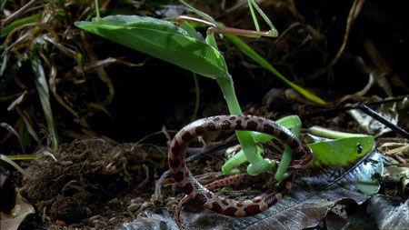 罕见巨型螳螂捕蛇全过程(组图)-螳螂,蛇