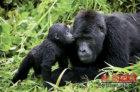 全世界只有两个山地大猩猩的野外栖息地
