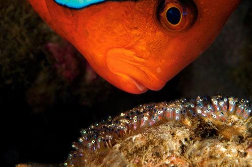 海底小丑鱼和海葵 相濡以沫的朋友