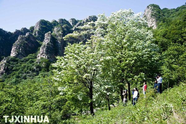 天津 风景区/5月16日,一队游人在天津梨木台风景区观赏流苏花。
