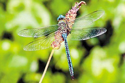 加拿大生物学家发现蜻蜓可能死于恐惧(图)