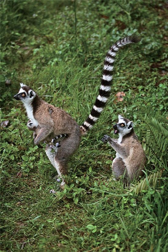 狐猴 马达加斯加岛之精灵(组图)