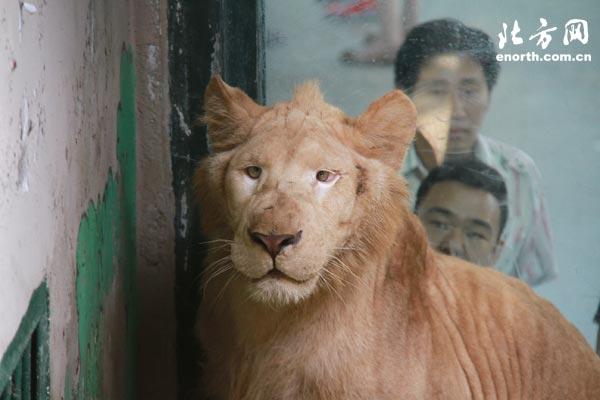 天津动物园从杭州野生动物园成功引进了一对小白狮子