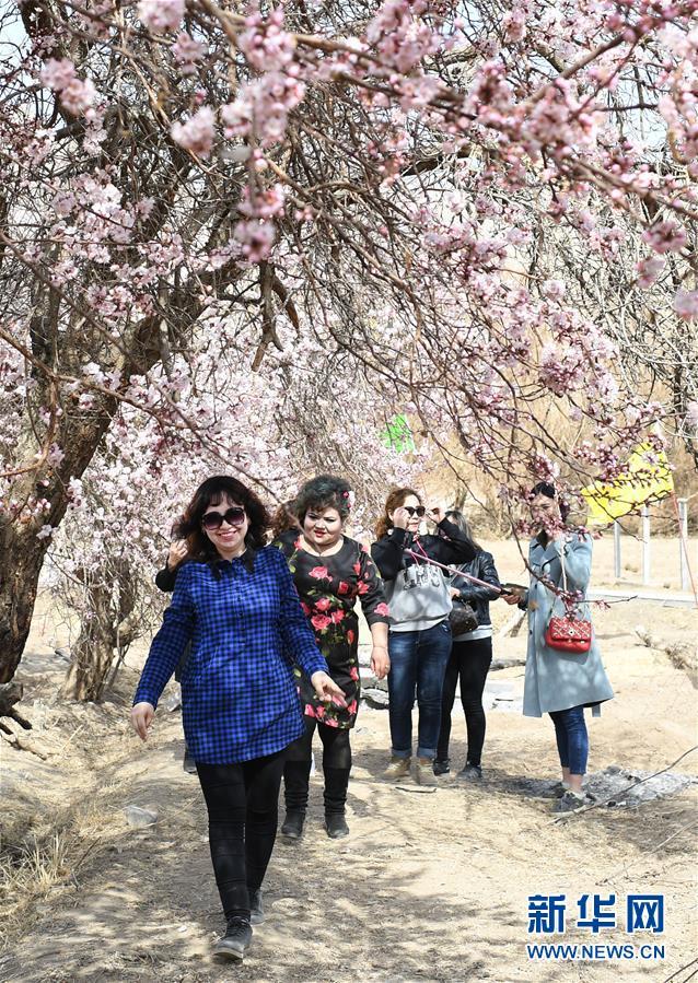 新疆吐鲁番:杏花怒放春来早