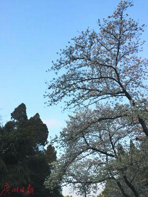 世界三大樱花之地之一:武汉东湖磨山樱园