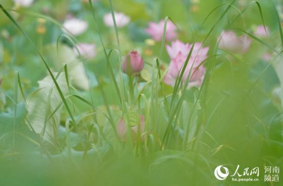 信阳郝堂:青荷盖绿水芙蓉披红鲜