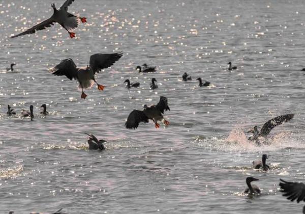 """静海区团泊湿地老友""""归来 波光映飞鸟如诗如画"""