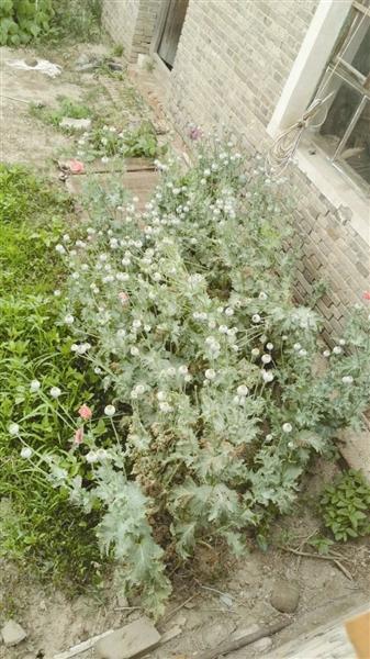 小院这些漂亮花 原来竟是罂粟!