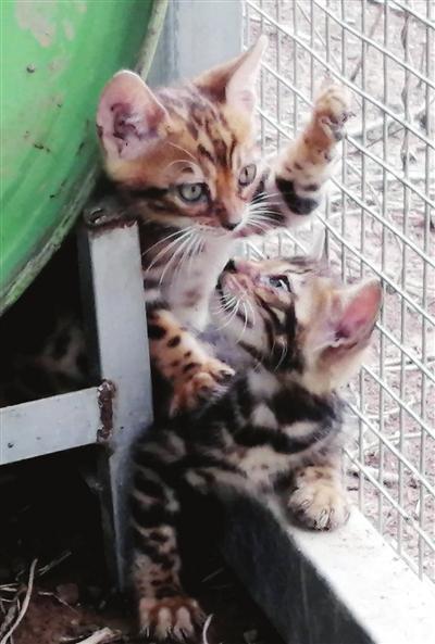 救助豹猫 回归野性