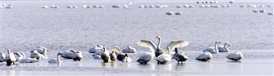 """北大港湿地进入候鸟迁徙高峰期 创近两年春季同期最高纪录 45万只候鸟大军""""组团""""过境"""