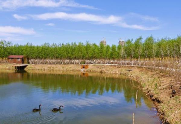 【图片新闻·正角度】黑天鹅结伴游绿屏 领略津南春之美!